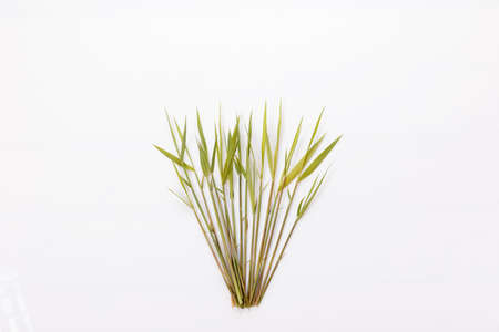 Common reed or southern reed on white background Фото со стока