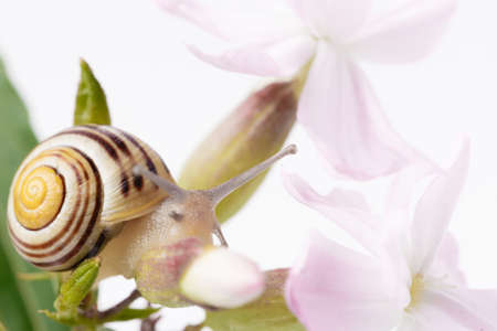 Snail on pink delicate flower close up, studio photo