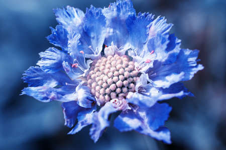 Center of blue beautiful scabiosis flower showing fibonacci pattern.