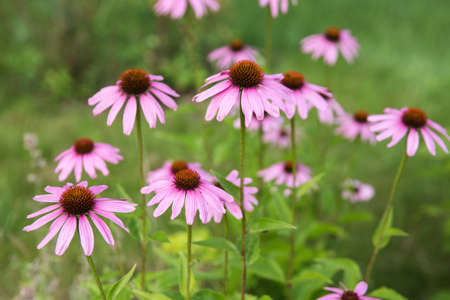 Echinacea purpurea. Big purple flowers blossoms in sunny day,