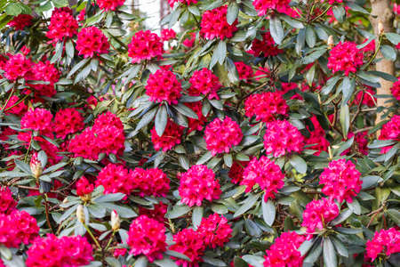Red rhododendron Nova Zembla, lush bloom in the nursery of rhododenrons. 写真素材