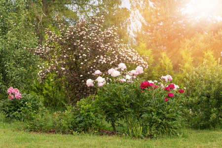Wonderful panoramic view of the country garden with many peonies and other perennials in the bright sun.