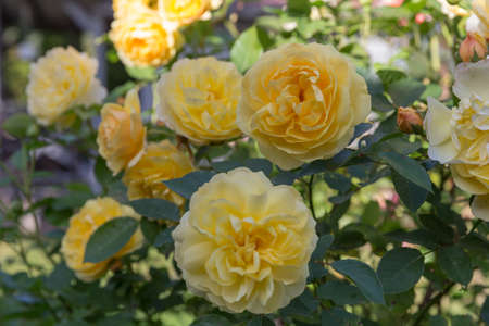 Blooming yellow orange English roses in the garden on a sunny day.