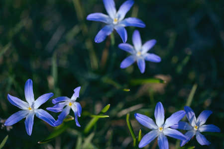Spring blue flowers of Chionodoxa luciliae close up and green grass, toned effect. Shallow DOFF 写真素材