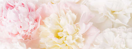 Beautiful aromatic fresh blossoming tender pink peonies texture, close up view. Romantic background 写真素材