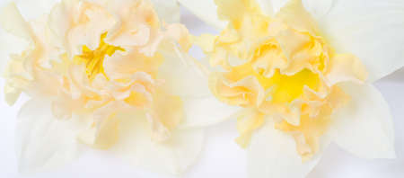 Pretty yellow daffodils on white background isolated 写真素材