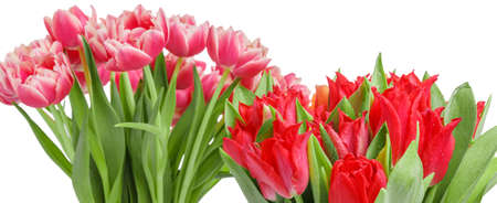 Bouquets of pink and red tulip isolated on white background. 8 March concept