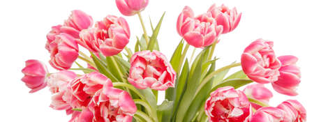 Bouquet of pink tulip isolated on white background. 8 March concept