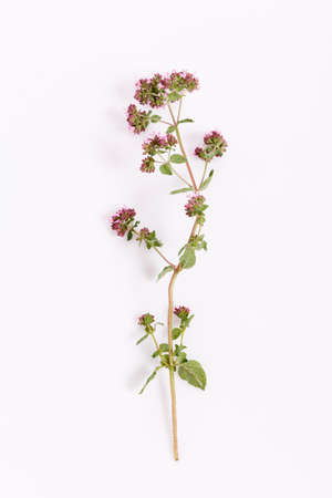 Sprig of flowers and leaves of oregano on a white background. Top view, flat lay. Blooming marjoram