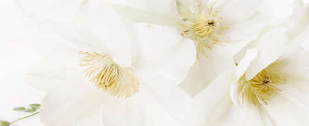 Beautiful aromatic fresh blossoming tender white flowers texture, close up view. Romantic background