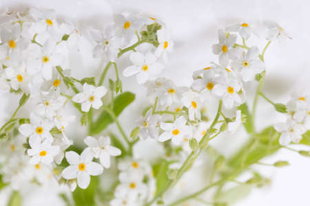Small delicate white spring flowers, spring background