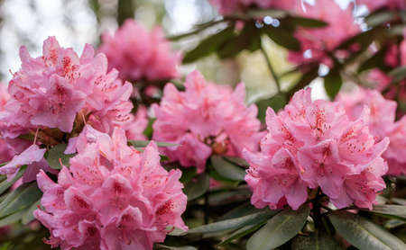 PInk rhododendron macro, close up, lush bloom in the nursery of rhododenrons.
