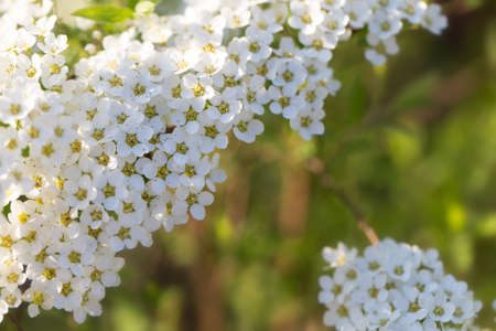 Spring flowering bush of spirea with white small flowers close-up. Abstract spring blossom background Foto de archivo
