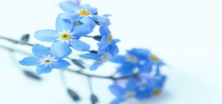 Small delicate blue spring flowers forget-me-not on blue background Foto de archivo