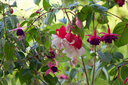 Fuchsia, pink, white and purple fuchsia flowers in the garden on a sunny day