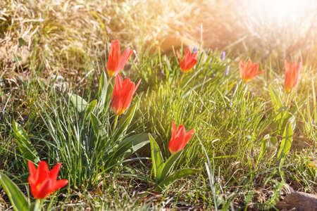 The first spring flowers are small tulips on a sunny day. Hello april wallpaper, spring garden background