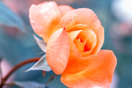 Beautiful orange coral roses flowers in garden close up. Tinted effect