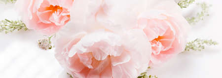 Romantic banner, delicate white pink rose flowers close-up. Fragrant pink petals, abstract romance background, pastel and soft flower card