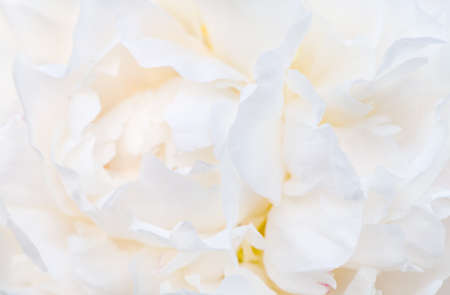 Delicate pale white peonies flowers close-up. Fragrant pink petals, abstract romance background, pastel and soft flower card