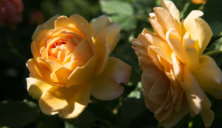 Beautiful fresh blooming rose bush on a sunny spring morning