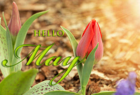 Red tilip flowers on a sunny day. Hello May wallpaper, spring garden background