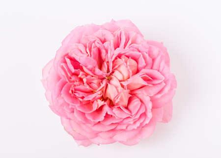 Pink English rose on white background close up