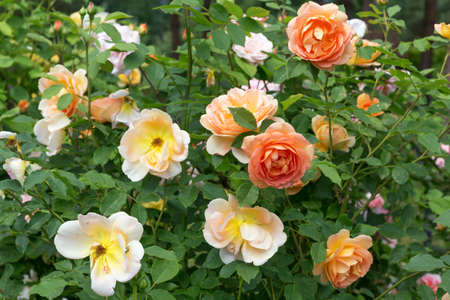 Blooming orange English rose in the garden on a sunny day. Rose Lady of Shalott 免版税图像