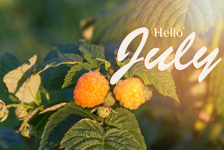 Yellow raspberries in the garden close up on a sunny day. Hello July wallpaper