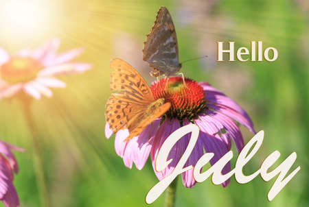 Two butterflies on a bright echinacea flower in the rays of the summer sun. Hello July wallpaper 免版税图像