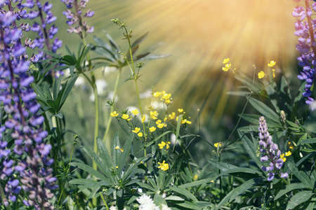 Beautiful meadow field with lupins wildflowers. Spring or summer wildflowers close-up. Health care concept. Rural field. Alternative medicine.