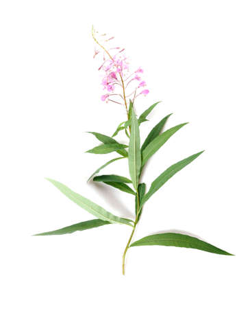 Fireweed, Rosebay Willowherb isolated on white background. Willow-herb isolated on white background. Medicinal plant. Blooming sally 免版税图像