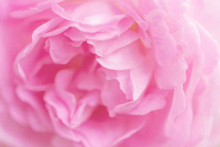 Delicate pink roses flowers close-up, macro rose background 免版税图像