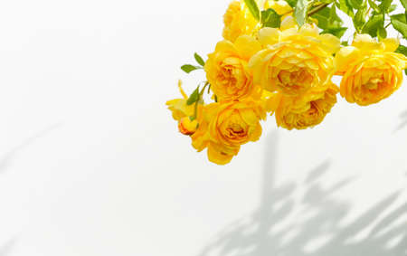 Branch of yellow roses and harsh shadows from bright light