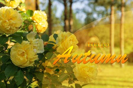 Hello Autumn wallpaper, autumn background with yellow rose flowers 免版税图像