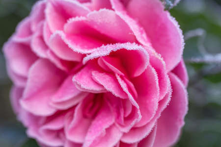 Winter in the garden. Hoarfrost on the petals of a pink rose