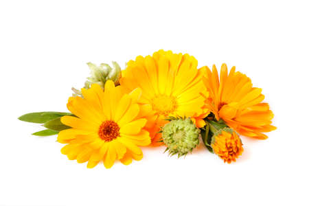 Calendula, medicinal plant, flowers with leaves and seeds isolated on whiteisolated on white