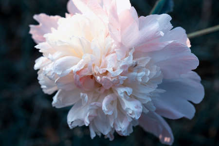 Tender pink peony in the garden against a background of dark leaves, toned effect. 免版税图像
