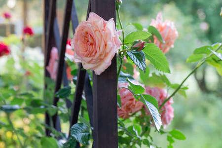 Pink roses in the morning light garden on blur background. on day noon light. 免版税图像