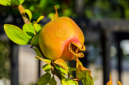 Ripening on a branch of pomegranate (Punica granatum) photo