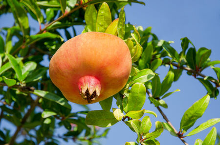 Ripening on the branch pomegranate (Punica granatum) against the blue sky photo