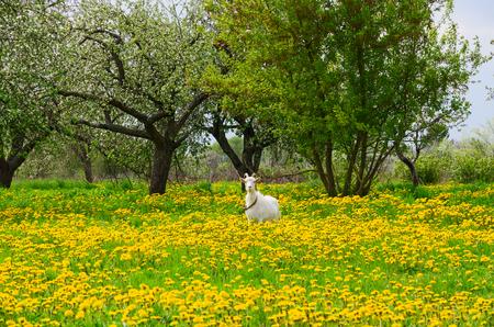petites fleurs: chèvre blanche est pâturée chez les pissenlits en fleur dans le jardin de pomme