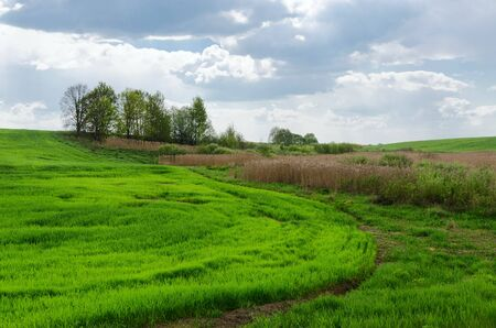 Rural landscape. Edge of green field sown agricultural crop