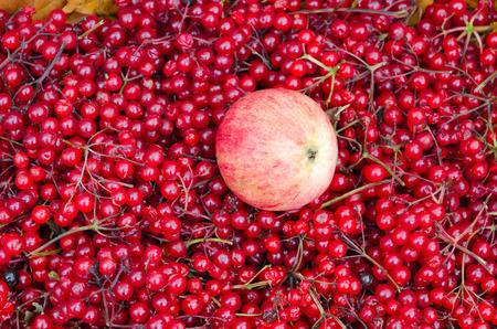 Autumn harvest. Apple on background of ripe berries of viburnum Stock Photo