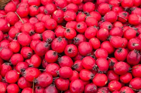 Ripe fruits of Hawthorn ordinary (lat. Crataegus laevigata), background