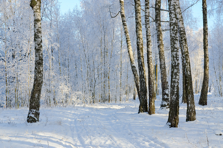 Picturesque birch grove in the hoarfrost, winter landscape