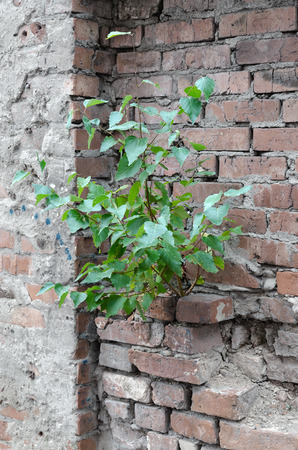 Tree with green leaves growing on old brick wall. Concept of survival and vitality