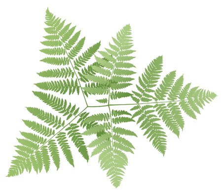 fern isolated on white background, vector illustration Illustration