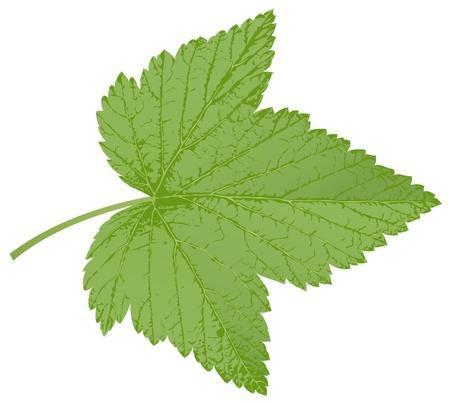 currant leaf Illustration