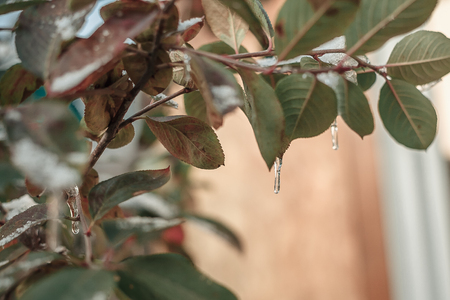 icicle on a frozen sheet of chokeberry Stock Photo