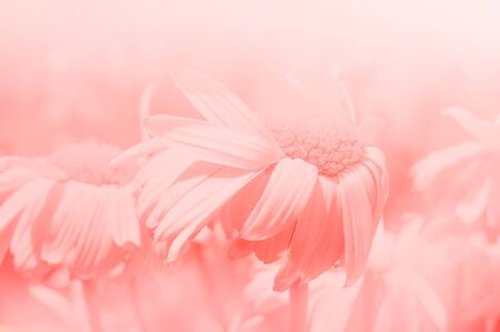 closeup of pink daisy with: Pink daisy background